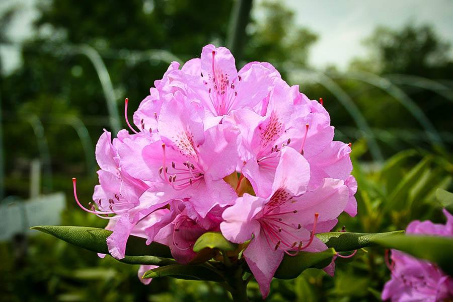english-roseum-rhododendron-1